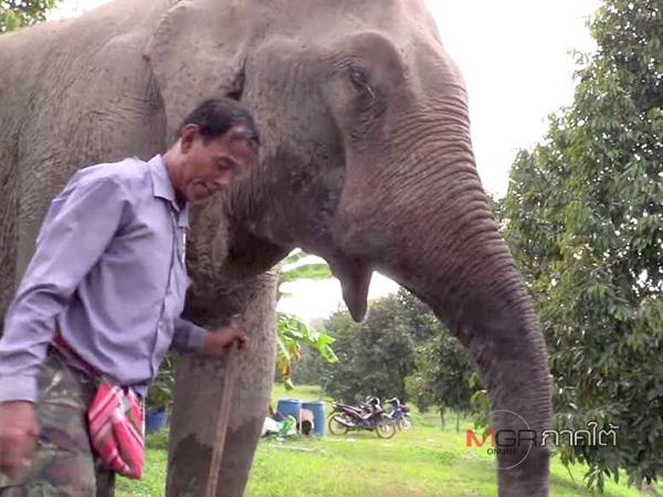 2 ล้านบาท! ควาญเรียกค่าช้างเจ็บหนัก กำนันคนดังเมืองคอนรับยิงเอง เหตุจวนตัว