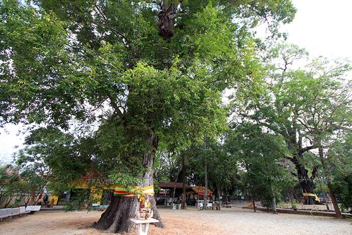 ต้นตะเคียนเก่าแก่หลายร้อยปี