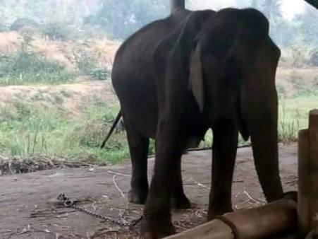 อนาถแท้!พบช้างไทย ถูกเลี้ยงแบบไม่ใยดีจนผอมโซเหลือแต่หนังหุ้มกะโหลกคาปางโลกสวยเชียงใหม่