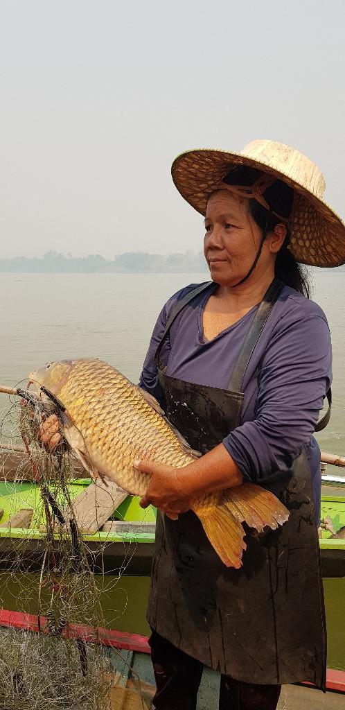 ชาวประมงจับปลาที่ได้จากการไหล มอง โดยปลาในภาพคือปลาไนน้ำโขงที่หนักประมาณ 7 กิโลกรัม และมีราคาบนเรือกิโลกรัมละ 200 บาท