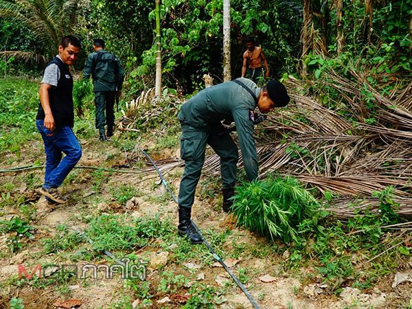 ตชด.เข้าทำลายไร่กัญชา-กระท่อม หลังพบมีการลักลอบปลูกในป่าอุทยานแห่งชาติเขาปู่เขาย่า