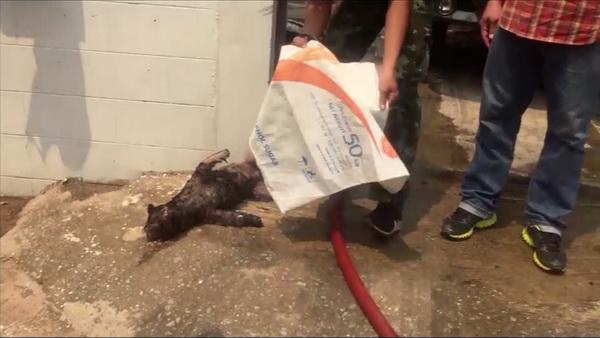 ลูกสุนัขชื่อดอกเตอร์ พันธุ์ชิสุ ที่วิ่งเข้าไปหาเจ้าของ ภายในบ้านที่ถูกเพลิงไหม้ ถูกไฟคลอกดับอนาถ