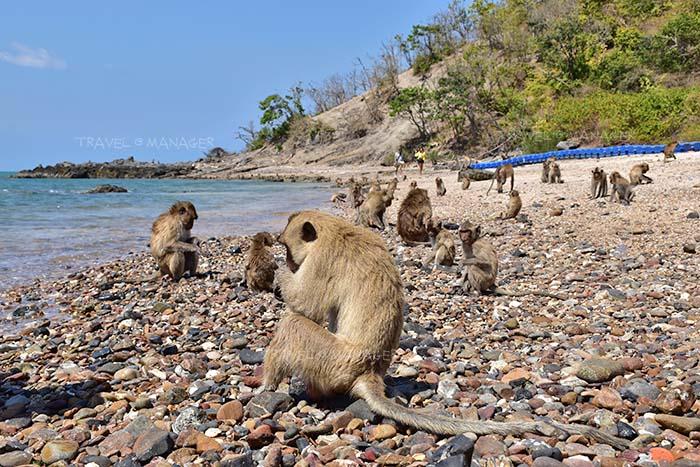 ลิงแสมบนเกาะเป็ด