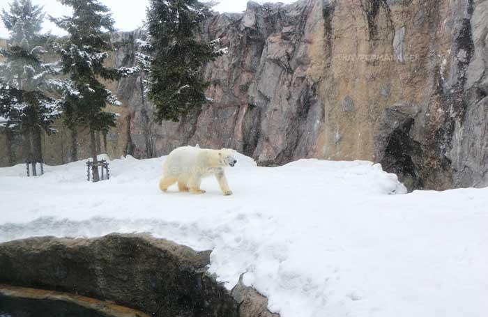 หมีขาวเดินโชว์ตัวให้เห็น