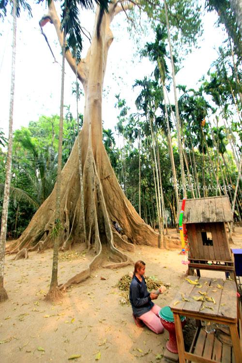 ต้นไม้ยักษ์ รุกข มรดกของแผ่นดินใต้ร่มพระบารมี