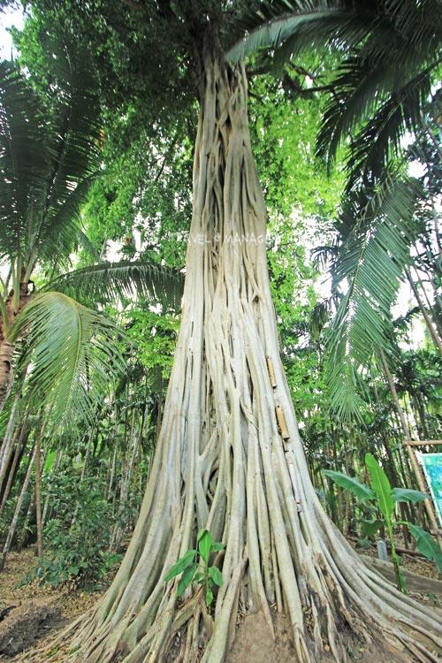 ต้นไทรใหญ่