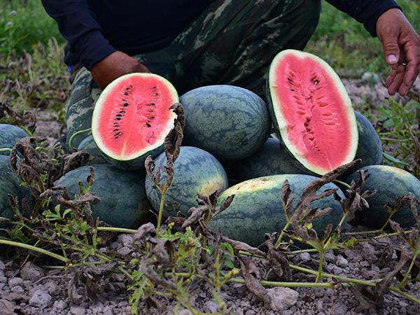 """ชาวลำปำปลูก """"แตงโม"""" ขายสร้างรายได้เสริมหลังฤดูกาลทำนาช่วงหน้าร้อน"""