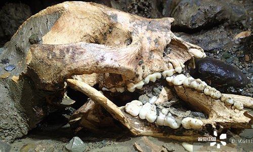 พบ โครงกระดูกของแพนด้ายักษ์ในถ้ำทางน้ำใต้ดินกุ้ยโจว
