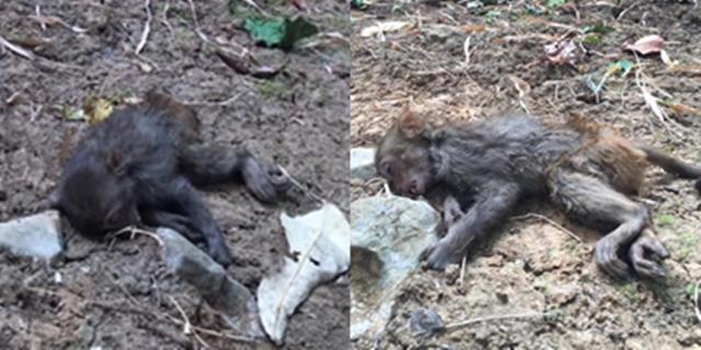 สลด!  ลูกลิงหนีไฟป่าดอยหลวงเชียงดาว ก่อนหมดแรงเสียชีวิตอย่างอนาถ