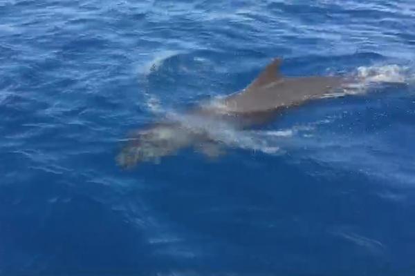 นักท่องเที่ยวเฮ! พบฝูงวาฬเพชฌฆาตดำกว่าสิบตัว โผล่โชว์ตัวที่หมู่เกาะสิมิลัน
