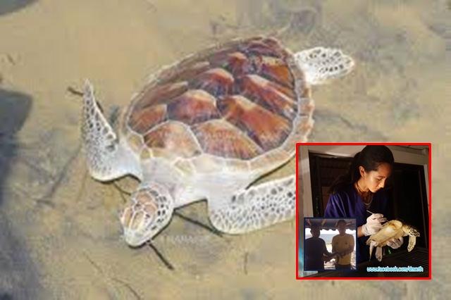 ทช. เผยดีใจ ชาวประมงช่วยชีวิตเต่าทะเลระยองได้อีก 1 ตัว หลังพบกระสอบพันตัว