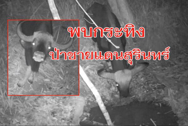 """ครั้งแรกในรอบ 10 ปี! เปิดภาพ""""กระทิง""""โผล่ป่าชายแดนสุรินทร์ พร้อมนกกระเรียนไทย (ชมคลิป)"""
