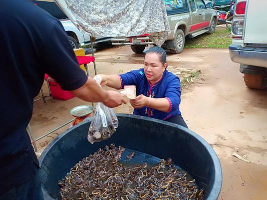 ฝนตก!ชาวนาแห้วออกจับอึ่งอ่างทำเมนูแซบ-ขายได้แพงกิโลฯ200- 250 บาท
