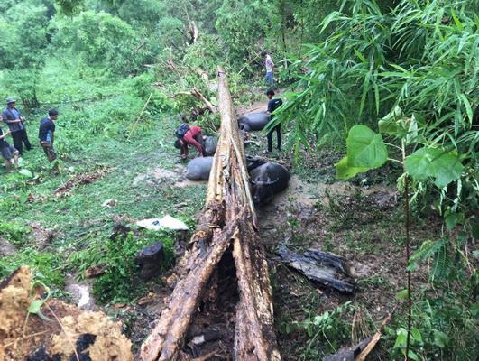 พายุซัดเมืองเลยหลายอำเภอ ต้นไม้ล้มทับอีแต๊กนำเที่ยว-ทับควายตาย1หลังหัก3
