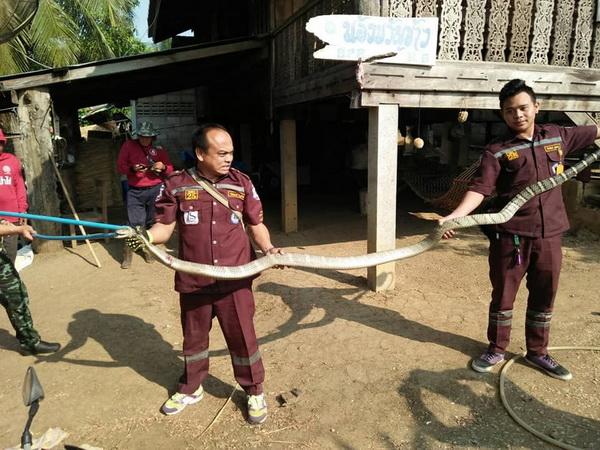 ผงะ ! กู้ภัยแม่สอดจับงูจงอางตัวใหญ่ที่สุดเท่าที่ได้รับแจ้งให้เข้าไปช่วยชาวบ้าน