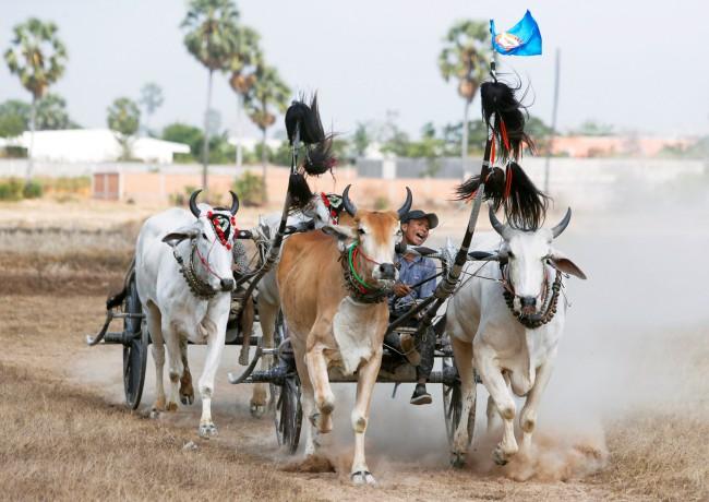 ชาวเขมรจัดแข่งวัวเทียมเกวียนวิ่งกันฝุ่นตลบฉลองคึกคักก่อนเทศกาลปีใหม่