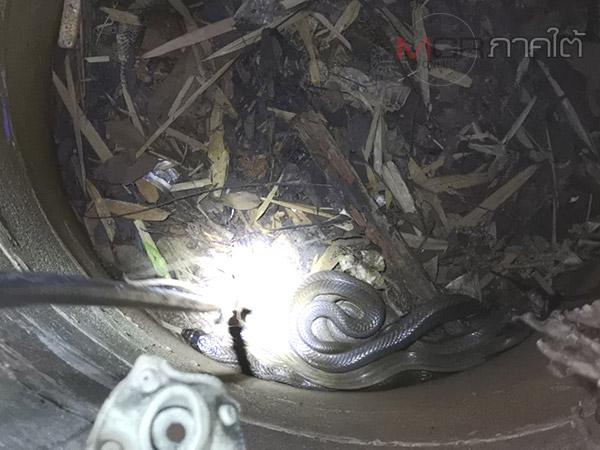 งูเห่า 2 ผัวเมียพลาดตกบ่อร้างบ้านประธานสภา อบต. กู้ภัยตรังเข้าจับปล่อยสู่ธรรมชาติ