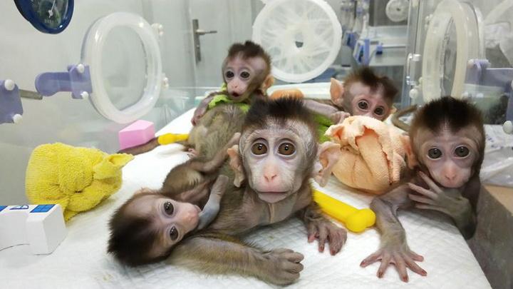 นักวิจัยจีนปลูกถ่ายยีนส์สมองคนในลิง อ้างศึกษาวิวัฒนาการสติปัญญา'มนุษย์'