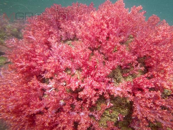 """ชวนชม """"ประการังอ่อนเจ็ดสี"""" ความงามใต้ทะเล ณ เกาะเหลาเหลียง"""
