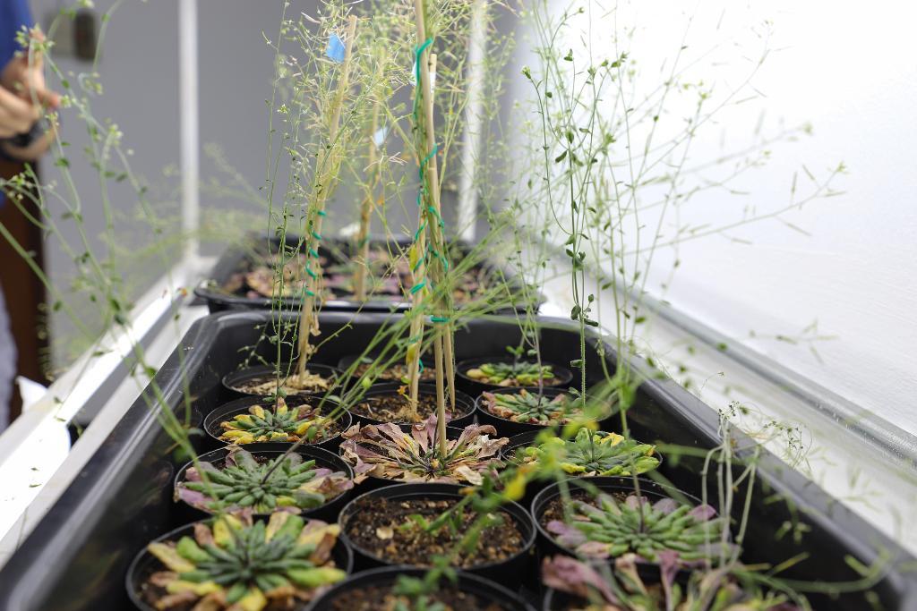 ต้น อะราบิดอฟซิส (Arabidopsis)