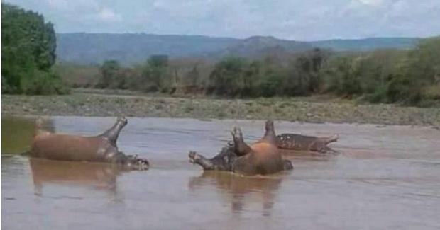 สลด!พบฮิปโปตายหมู่อย่างน้อย28ตัวในอุทยานแห่งชาติเอธิโอเปีย