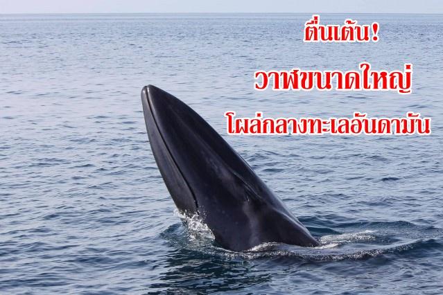 """นักท่องเที่ยวตื่นเต้น! เจอวาฬขนาดใหญ่โผล่ข้างเรือ """"ว้าวอันดามัน"""" ก่อนถึงเกาะสิมิลัน"""