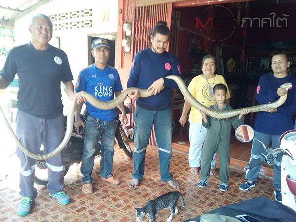 ผงะ! คุณป้าชาวตรังช็อคพบงูจงอางยักษ์แผ่แม่เบี้ยประจันหน้า ก่อนโทรกู้ภัยช่วยจับ