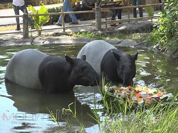 """สวนสัตว์สงขลาจัดงานวันสมเสร็จโลกให้คู่รักสมเสร็จ """"ทองพูล"""" กับ """"มะแมะ"""""""