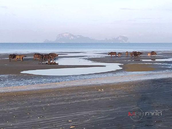 """หนึ่งเดียวในไทย! """"ควายเกาะสุกร"""" ลงเล่นน้ำทะเลคลายร้อน"""