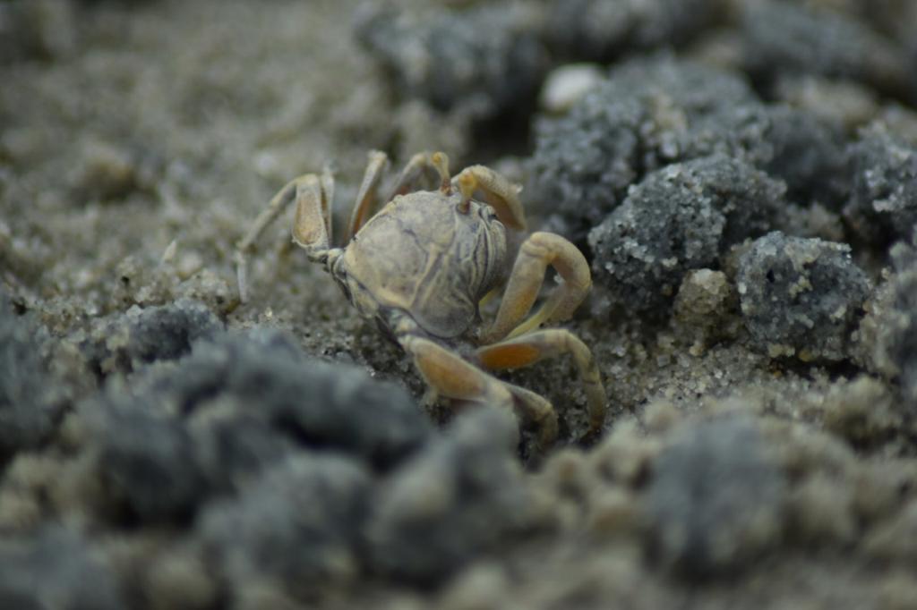 ภาพขยายปูมดแดง ปูตัวเล็กๆ ตามแนวหาดทรายที่เกาะเคี่ยมใต้