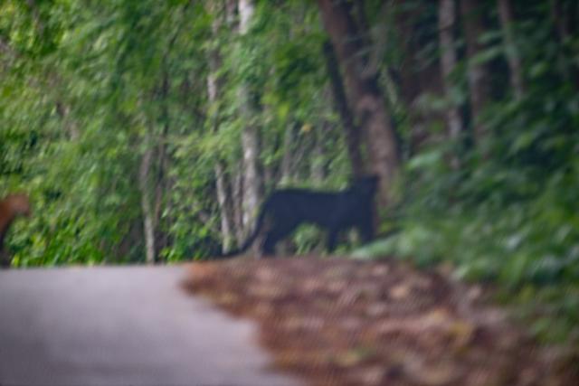 หยิบกล้องแทบไม่ทัน! นักท่องเที่ยวปลื้มพบเสือดำ-เสือดาว ในอุทยานแห่งชาติแก่งกระจาน