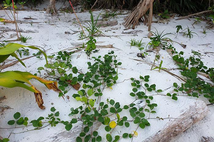 บางส่วนของการปลูกพืชคลุมเนินทราย