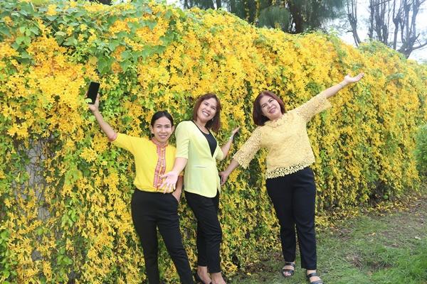 คนภูเก็ตแห่เชลฟี่ต้นเหลืองชัชวาลย์ ออกดอกบานสะพรั่งเหลืองอร่าม