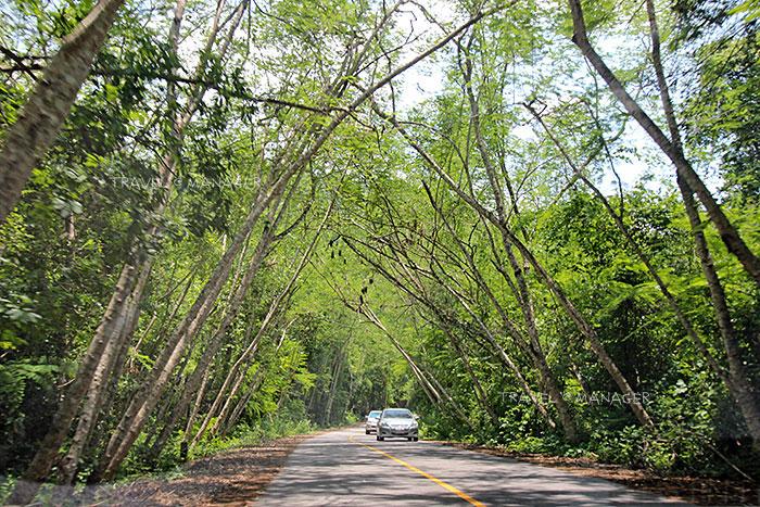 อุโมงค์ต้นไม้ระหว่างเส้นทางสู่แคมป์บ้านกร่าง