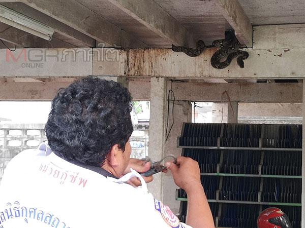 อีกตัว! กู้ภัยเข้าจับงูเหลือมบุกกินนกพิราบใต้ถุนบ้านพักหนุ่มไปรษณีย์ตรัง