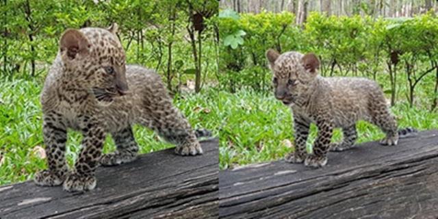 สถานีเพาะเลี่ยงสัตว์ป่าห้วยขาแข้ง เปิดโอกาสให้ ปปช.ช่วยอุปถัมภ์ดูแลลูกเสือดาว-สัตว์ป่าอื่นๆ