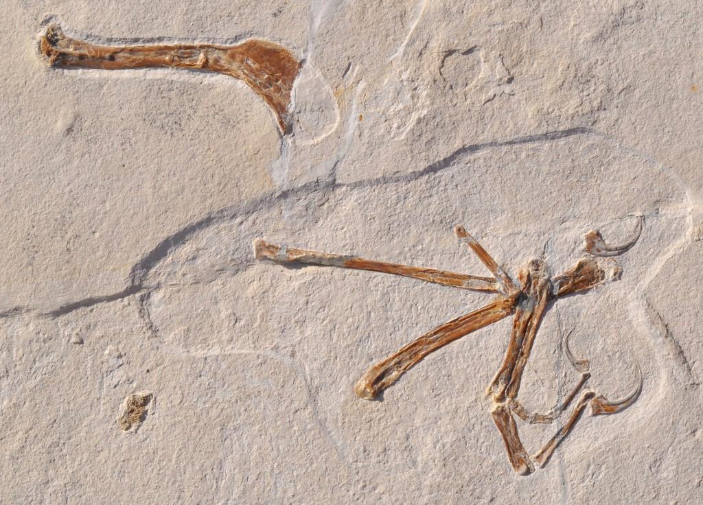 ฟอสซิลไดโนเสาร์บินได้ชนิดล่าสุด (OLIVER RAUHUT / Bayerische Staatssammlung f?r Pal?ontologie und Geologie / AFP)