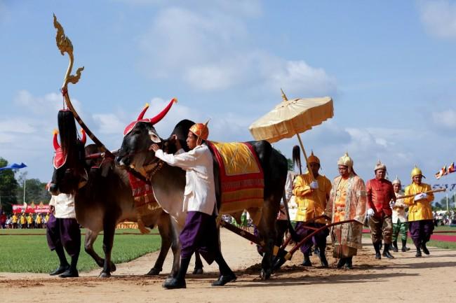 เขมรจัดพระราชพิธีแรกนาขวัญพระโคเสี่ยงทายผลผลิตข้าวอุดมสมบูรณ์