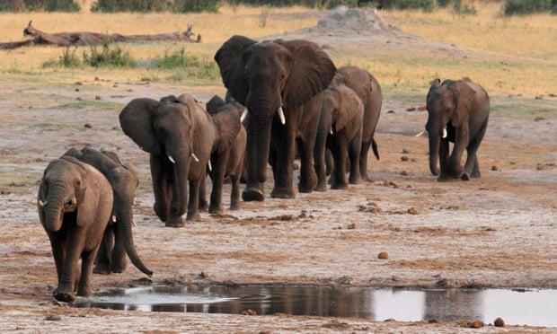 3 ชาติแอฟริกาเตรียมเรียกร้องให้เลิกห้ามขายงาช้าง