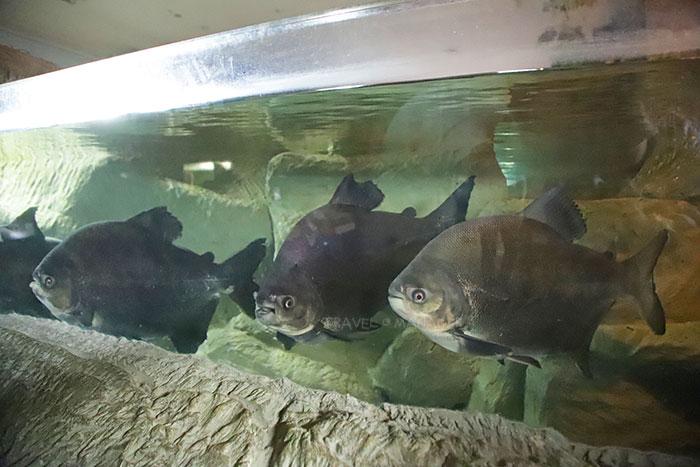 ปลาพาคู