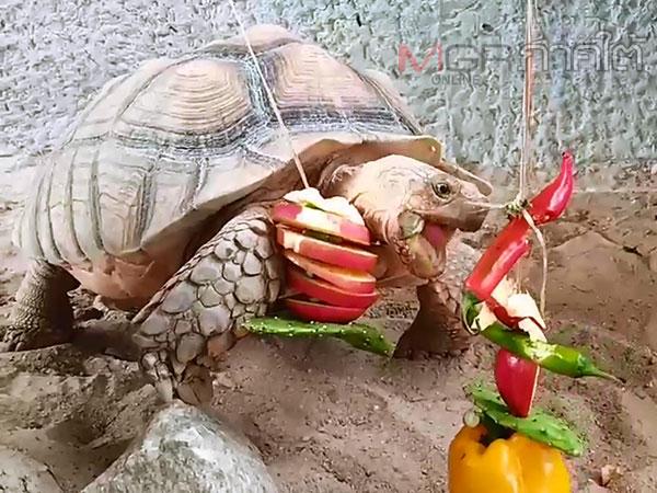 """สวนสัตว์สงขลาจัดกิจกรรมพิเศษเลี้ยงบุฟเฟต์ให้เต่าเนื่องใน """"วันเต้าโลก"""""""