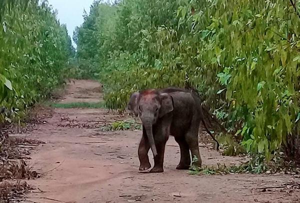 เร่งตามหาช้างน้อยหลงโขลงจากป่าเขาอ่างฤาไน หลังชาวบ้านพบอดนมจนผอมโซ