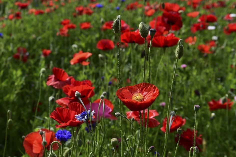 ภาพทุ่งดอกดอกป๊อปปี้สีแดงสดในเมืองมิลาน อิตาลี ภาพประจำวันเสาร์(25) เอเอฟพี