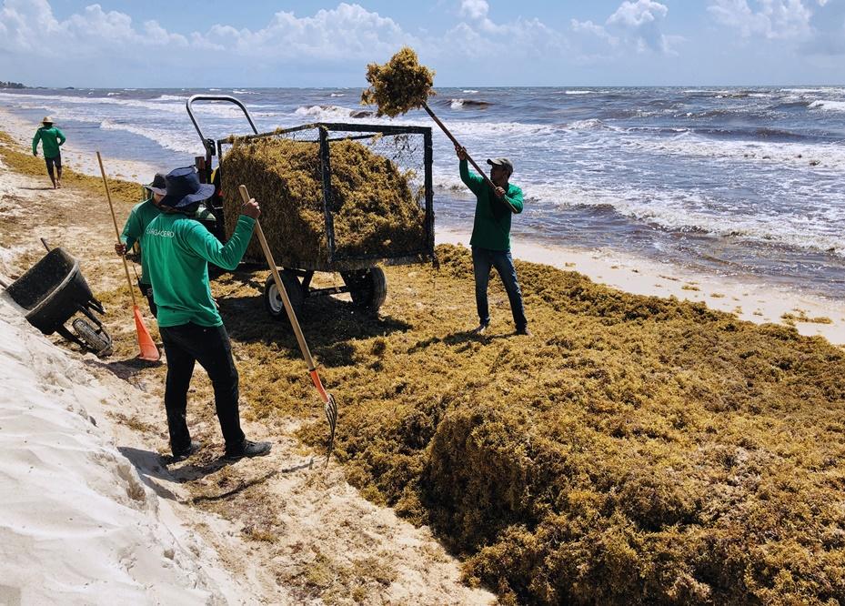 คนงานชาวเม็กซิกันกำลังอยู่ในระหว่างการทำความสะอาดนำสาหร่ายทุ่นสีน้ำตาลสกุลซากัสซัม( Sargassum)ออกไปจากชายหาดใกล้ทาลัม(Tulum) รัฐกินตานาโร(Quintana Roo) เม็กซิโก บรรดานักวิทยาศาสตร์ เจ้าของโรงแรม และเจ้าหน้าที่รัฐเม็กซิกันต่างพากันวิตกถึงการเพิ่มจำนวนสาหร่ายประเภทนี้บริเวณชายฝั่งทะเลแคริบเบียน และพากันพยายามหาทางกำจัด ภาพประจำวันศุกร์(24) เอเอฟพี