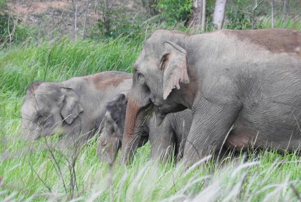 คลิปสุดตื่นเต้น! จนท.ป่าดงใหญ่บุรีรัมย์บันทึกภาพโขลงช้างป่า 32 ตัวพร้อมลูกน้อย ออกหากิน