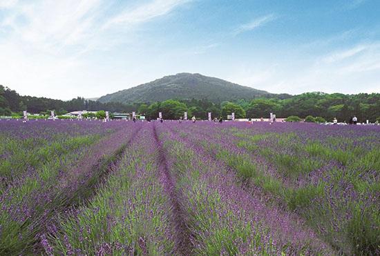Ranzanmachi Sennen no Sono Lavender Field