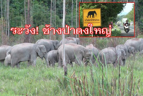เตือน! ชาวบ้านและผู้ใช้ถนนบุรีรัมย์-ตาพระยะ ระวังช้างป่าดงใหญ่ หลังพบโขลงใหญ่ 32 ตัว