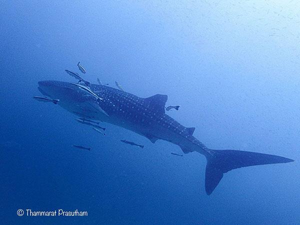 สุดดีใจ! ไกด์หนุ่มนักดำน้ำชาวสตูลถ่ายภาพฉลามวาฬขณะว่ายน้ำเล่นอย่างสนุกสนาน