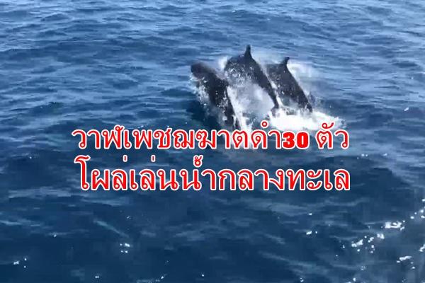 นักท่องเที่ยวสุดฮือฮาพบฝูงวาฬเพชฌฆาตดำ30 ตัวโผล่เล่นน้ำกลางทะเลเกาะเต่า