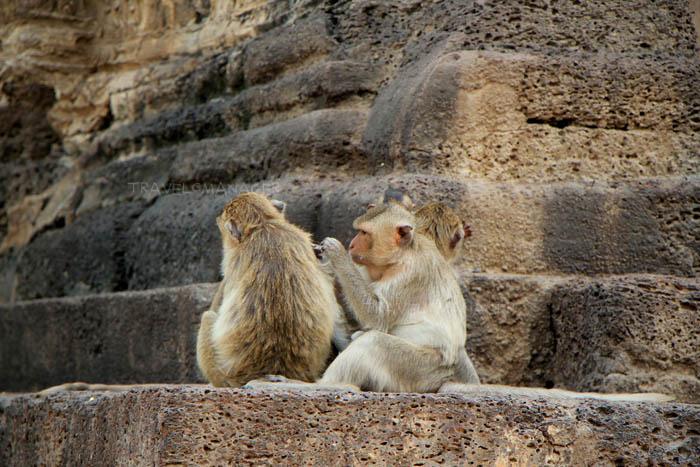 ลิงเจ้าถิ่นเมืองลพบุรี